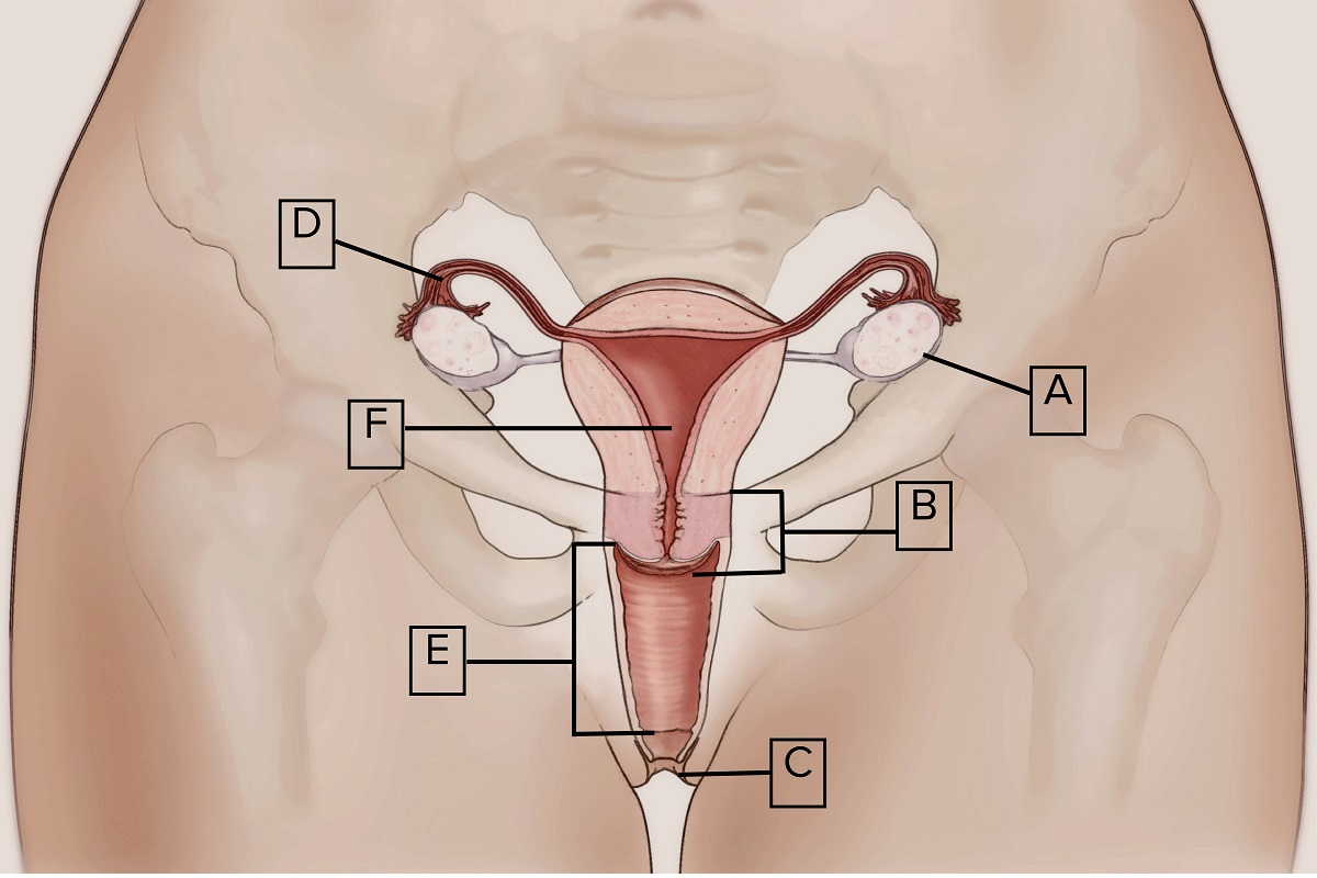 The-Eve-Appeal-Reproductive-System-Labelled